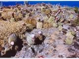 Nanny point Turks heads cactus